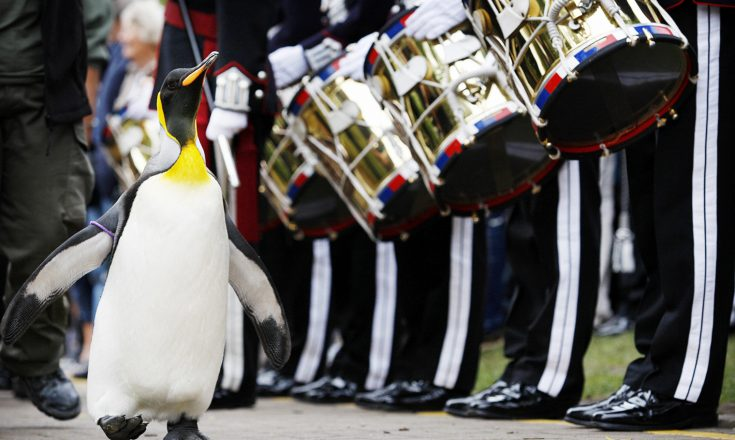 'Nils Olav' the penguin receives his knighthood from the Nowegian King's Guard at the Edinburgh zoo, on August 15, 2008. A penguin called Nils waddled into the history books Friday when he was knighted by a visiting royal Norwegian regiment in Scotland. The king penguin -- full name Nils Olav -- became the first black-and-white pint-sized Norwegian Sir with wings after inspecting the Norwegian King's Guard, over for Edinburgh's annual Military Tattoo. AFP PHOTO/Ed Jones (Photo credit should read ED Jones/AFP/Getty Images)